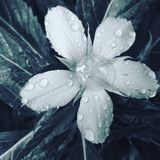 Падения дождя на цветке Стоковое фото RF
