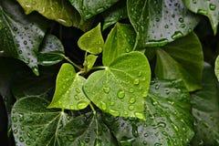 Падения дождя отбортовывая на зеленых листьях Стоковое Изображение RF