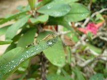 Падения питьевой воды Dragonfly на зеленых листьях Стоковые Изображения RF