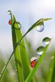 Падения росы и ladybirds Стоковое Изображение RF