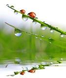 Падения росы и ladybirds Стоковые Фотографии RF
