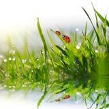 Падения росы на лезвиях зеленой травы и ladybugs Стоковое Изображение