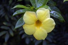 Падения росы на желтом лепестке allamanda Стоковое Изображение RF