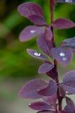 Падения росы на кизиле Стоковое фото RF