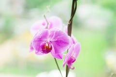 Падения росы на орхидее сирени Стоковые Фото