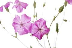Падения росы на розовых полевых цветках изолированных на белой предпосылке Стоковые Фото