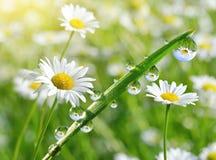 Падения росы на свежей зеленой траве с крупным планом маргариток Стоковое фото RF