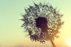 Падения росы на семенах одуванчика на восходе солнца Стоковые Изображения RF