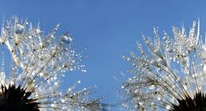 Падения росы на семенах одуванчика стоковое изображение