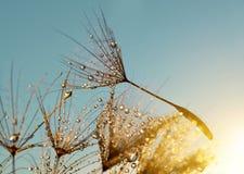 Падения росы на семенах одуванчика Стоковое Изображение RF