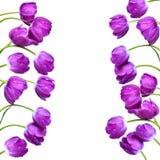 Падения росы на фиолетовых тюльпанах Стоковое Изображение RF