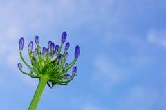 Падения росы утра на лилии Нила или африканской лилии Стоковое Изображение