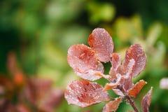 Падения свежей воды на красных листьях дикого растения Буша на сезоне осени Стоковые Изображения