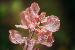 Падения свежей воды на красных листьях дикого растения Буша на сезоне осени Стоковое Фото