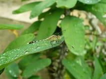 Падения Dragonfly и воды на зеленых листьях Стоковые Фото