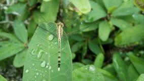 Падения Dragonfly и воды на зеленых листьях Стоковые Изображения