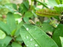 Падения Dragonfly и воды на зеленых листьях Стоковая Фотография