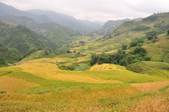 Падиы риса Стоковое Изображение