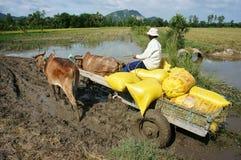 Пади Transportion в мешке риса тележкой буйвола Стоковое Фото