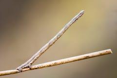 палочка замаскированная гусеницей Макрос Справочная информация Стоковое Изображение