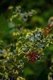 Падуб покидает красные ягоды Стоковое Изображение