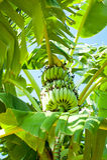 Пальма банана на тропической плантации Индия Стоковые Фото
