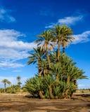 Пальма в Palmeraie Skoura, Марокко стоковые фото