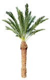 Пальма кокоса изолированная на белизне Стоковые Фотографии RF