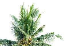 Пальма кокоса изолированная на белой предпосылке Стоковые Изображения RF