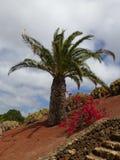 Пальма на горном склоне в Haria Стоковое Фото