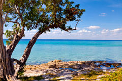Пальма на красивом Playa Giron, Кубе Стоковое Фото
