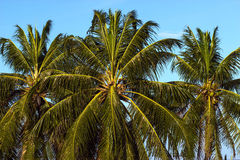 Пальма на сини Стоковое Изображение RF