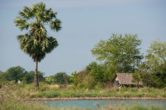 Пальма сахара в голубом небе Стоковое фото RF