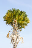 Пальма сахара Стоковое Фото