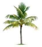 Пальма Стоковое фото RF
