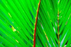 Пальма, renda Blume Cyrtostachys Стоковые Изображения RF