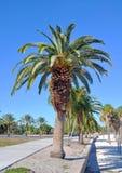 Пальмы выровнянные вверх Стоковое Изображение RF