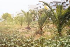 пальмы засаженные детенышами вдоль дороги стоковые фото