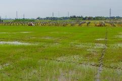 Пальмы и рисовые поля в пасмурном дне перепад mekong Вьетнам Стоковая Фотография RF