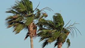 Пальмы на ветре сток-видео