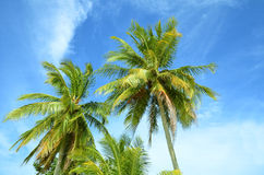 Пальмы на голубом небе Стоковые Фото