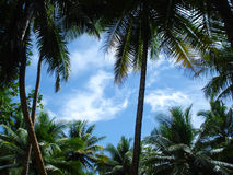пальмы тропические Стоковая Фотография RF