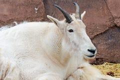 Пальто козы горы в новой зиме Стоковое Фото