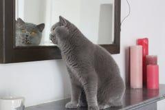 Пальто маленького кота голубое смотрит в зеркале Стоковые Изображения