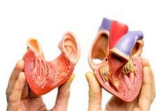 Пальцы держа открытое человеческое сердце на белой предпосылке стоковое изображение