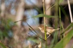 певица трубы болотоа (palustris Acrocephalus) Стоковое Изображение RF