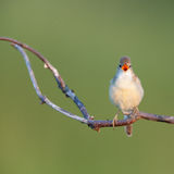 Певчая птица болота (palustris настоящей камышевки) Стоковое Фото