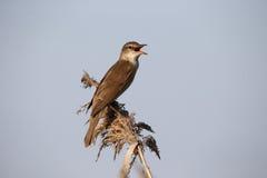 певчая птица Больш-тростника, arundinaceus настоящей камышевки Стоковые Фотографии RF