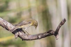 Певчая птица вербы на сухом дереве смотря правый Стоковые Изображения