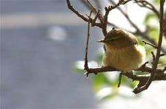 Певчая птица вербы Стоковое Фото